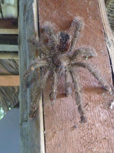 araignée-cuyabeno-tout-equateur