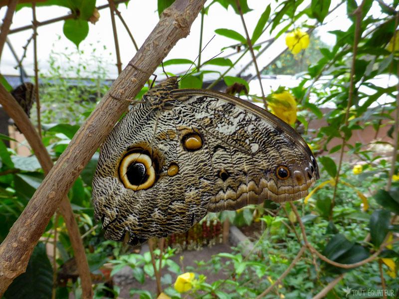 papillon-morpho-mindo-tout-equateur