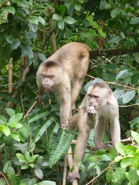 singes-jungle-cuyabeno-tout-equateur
