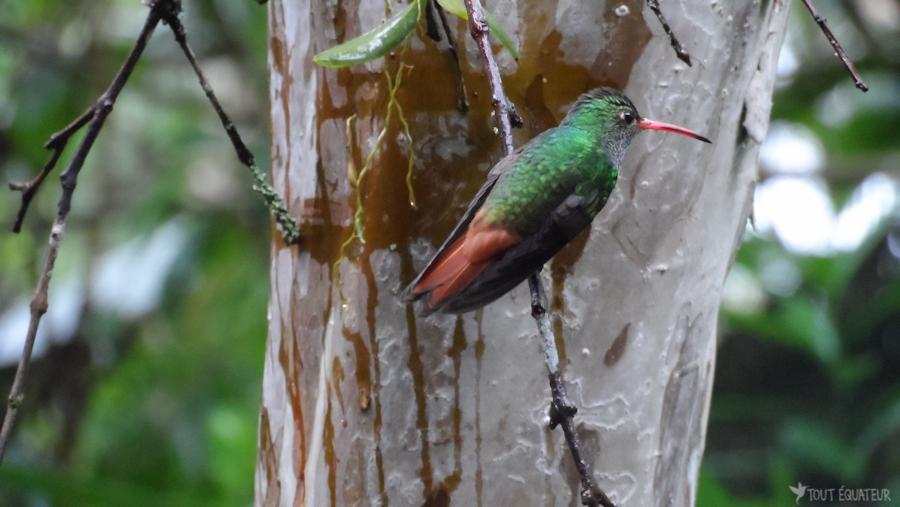 12'-mindo-colibri-tout-équateur