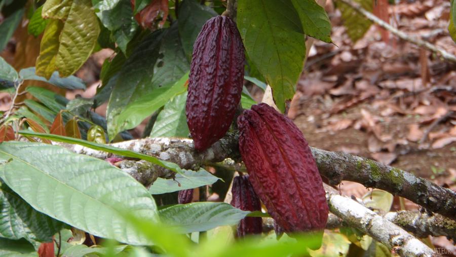 17-fêve-cacao-tout-équateur