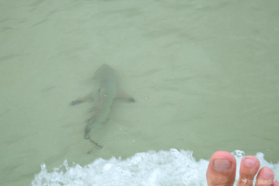 bebe-requin-plage-galapagos-tout-équateur