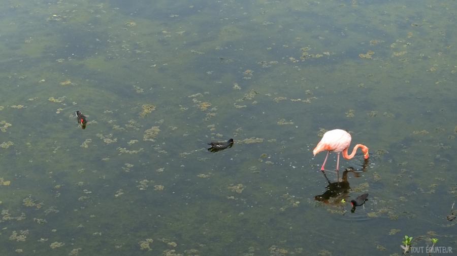 flamand-rose-galapagos-tout-équateur