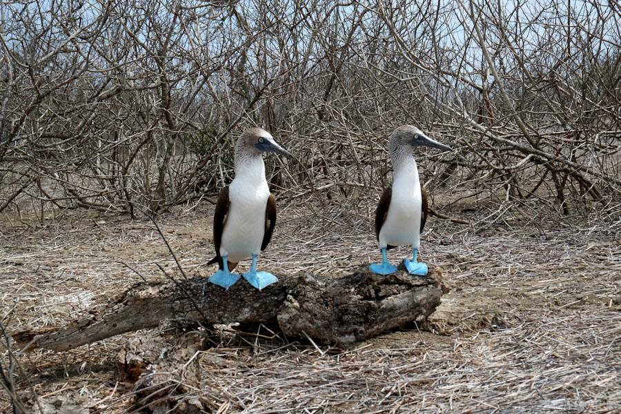 fou-a-patte-bleu-galapagos-tout-équateur