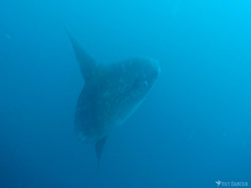 grand-poisson-lune-galapagos-tout-équateur
