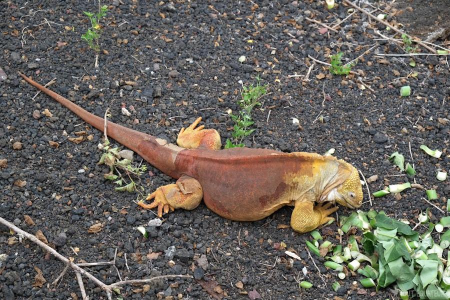 iguane-terrestre-galapagos-tout-équateur