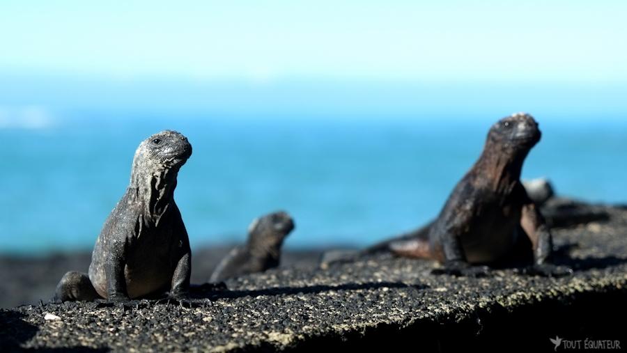 iguanes-marins-galapagos-tout-équateur