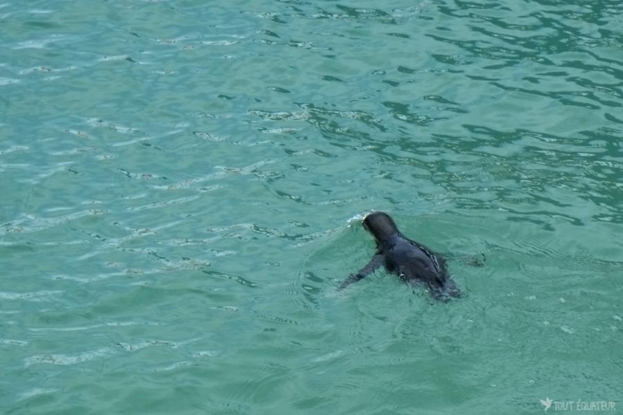 pinguin-galapagos-tout-équateur