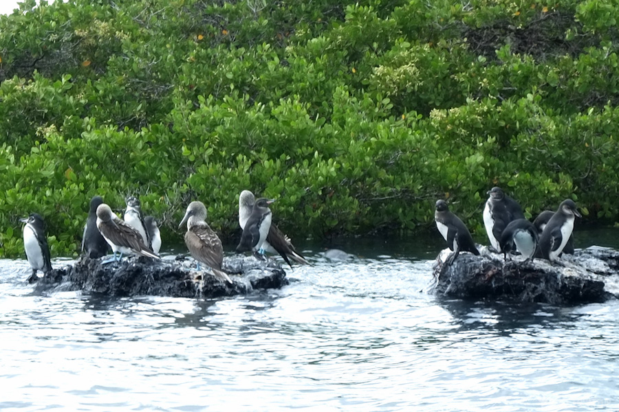 pinguins-galapagos-tout-équateur