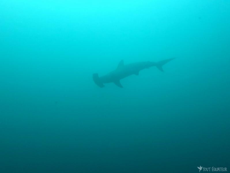 requin-marteau-galapagos-tout-équateur