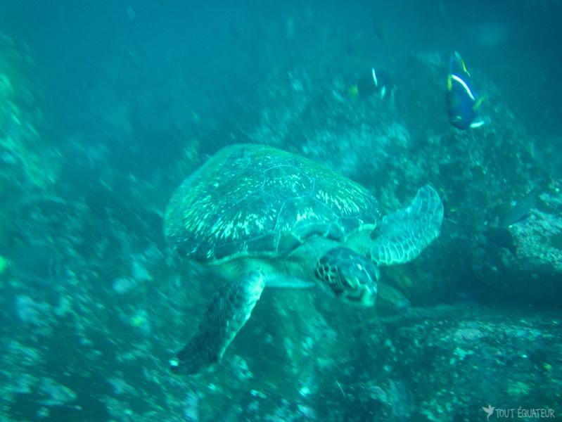 tortue-de-mer-eau-galapagos-tout-équateur