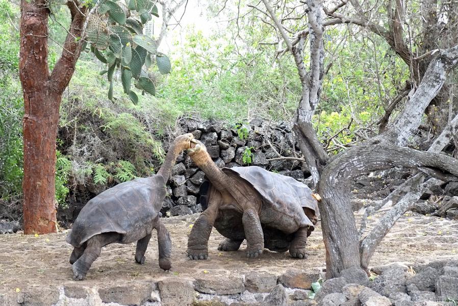 tortues-géantes-galapagos-tout-équateur