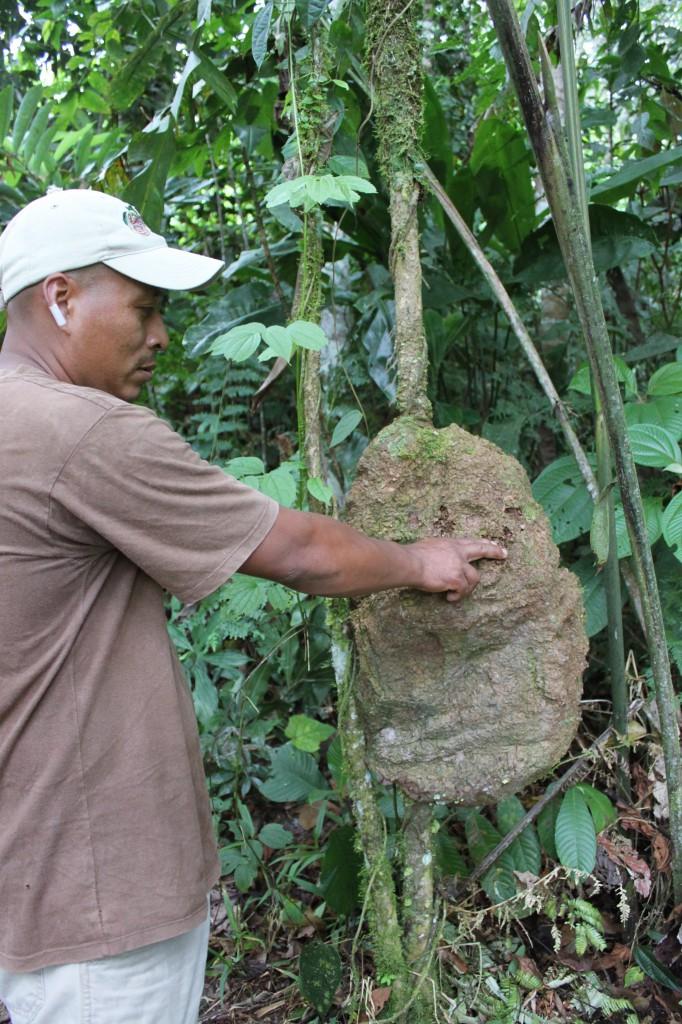 Notre guide José nous expliquait que les termitières étaient utilisées contre le diabète et en tant que répulsif moustiques par les peuples Quichua