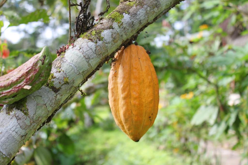 Le cacao pousse sur la propriété du Suchipakari EcoLodge
