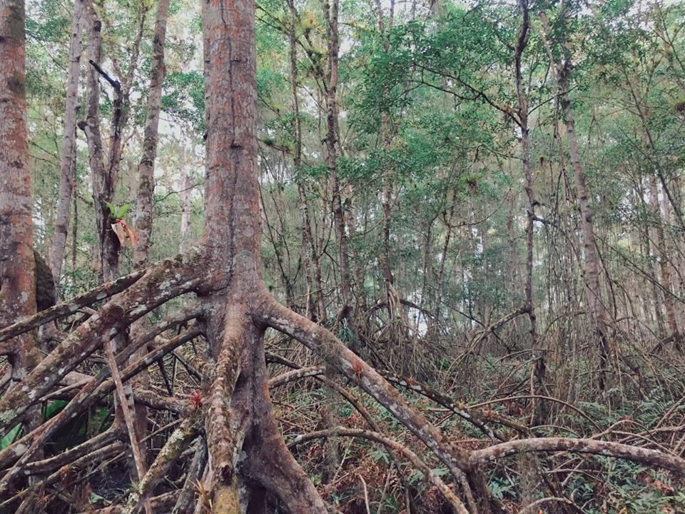penas-mangrove