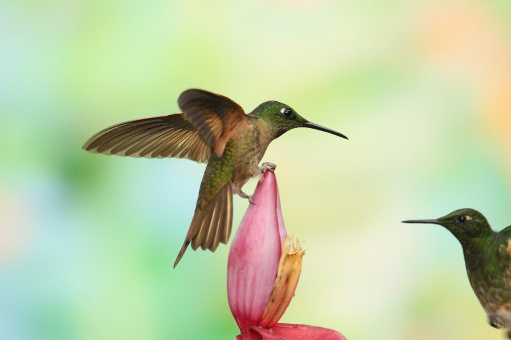 Colibri Flavescens