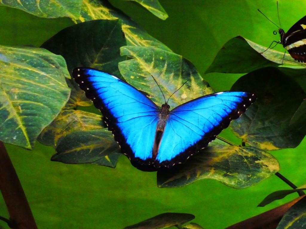 Mindo - Papillon - Valerie Florval
