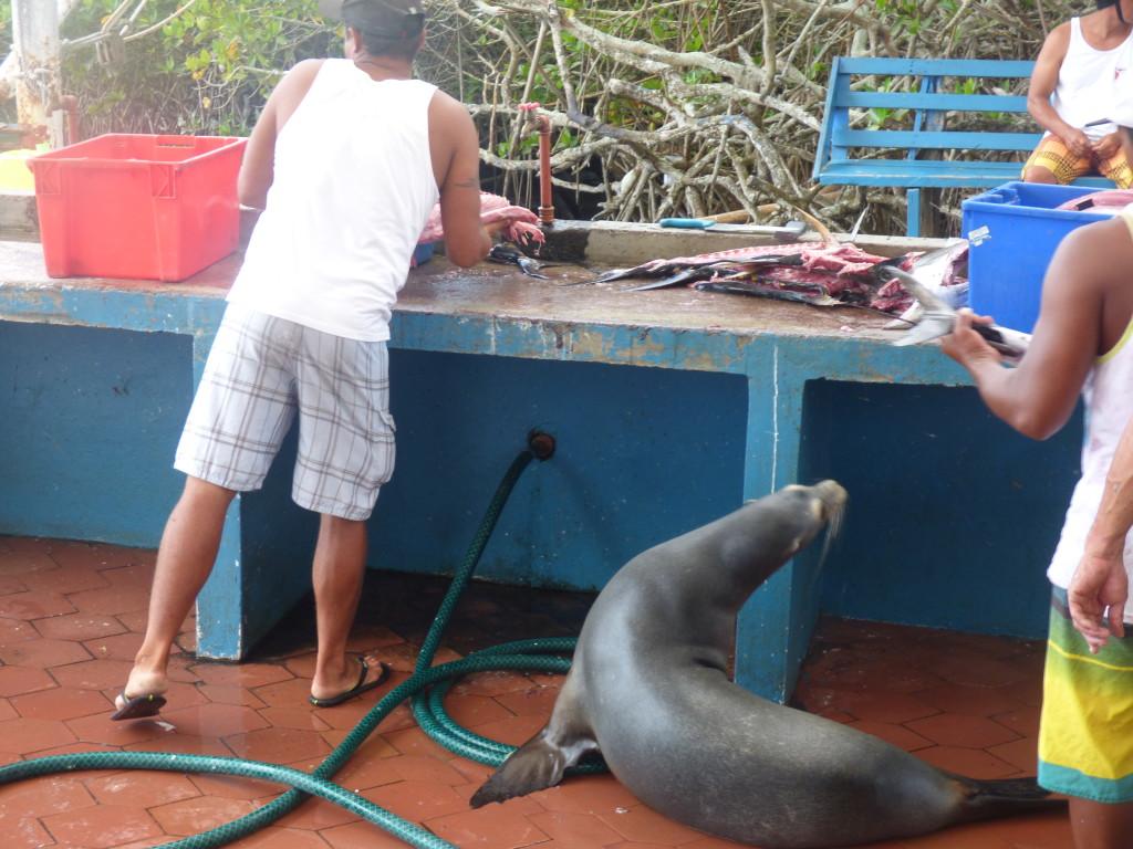 Santa Cruz Puerto Ayora Galapagos Otarie - Valerie Florval