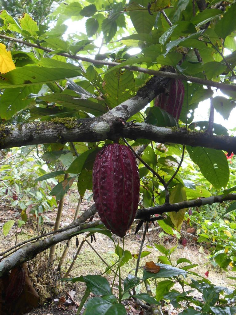 20170506 0807 Puerto Misahualli - Visite de la finca de cacao