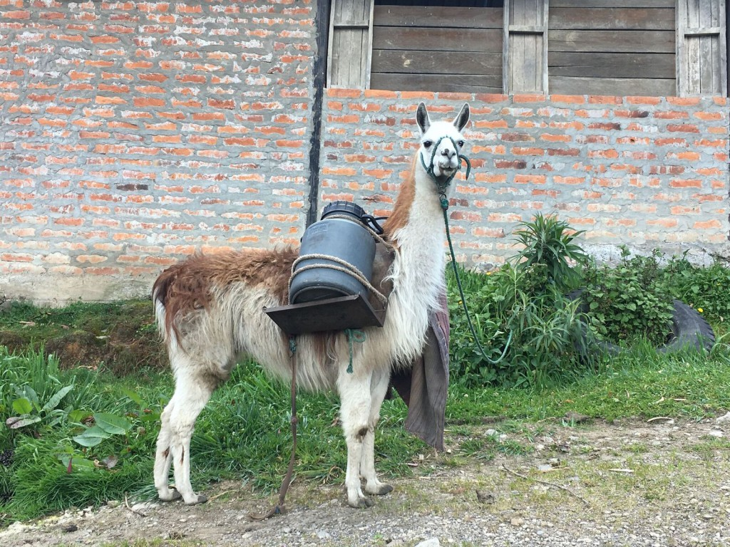 Bouvier Chimborazo 4