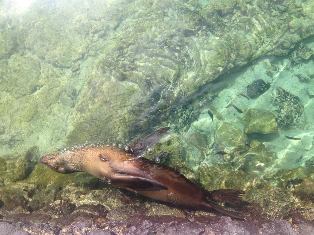 Galapagos Naud 35