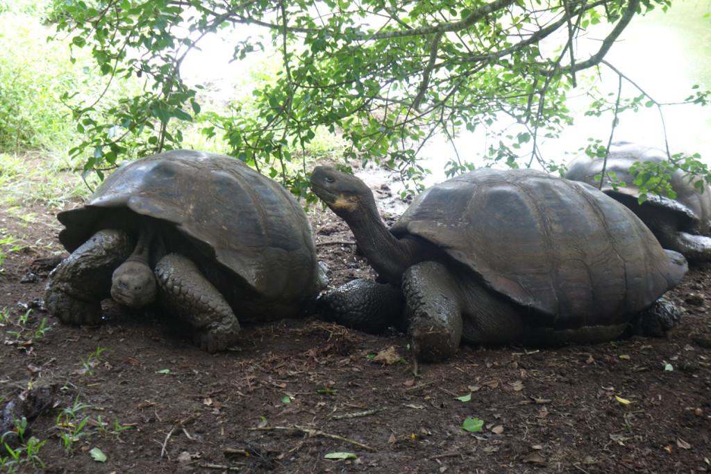 Galapagos Naud 48