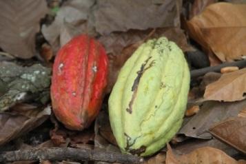 Cacao - Basuyau
