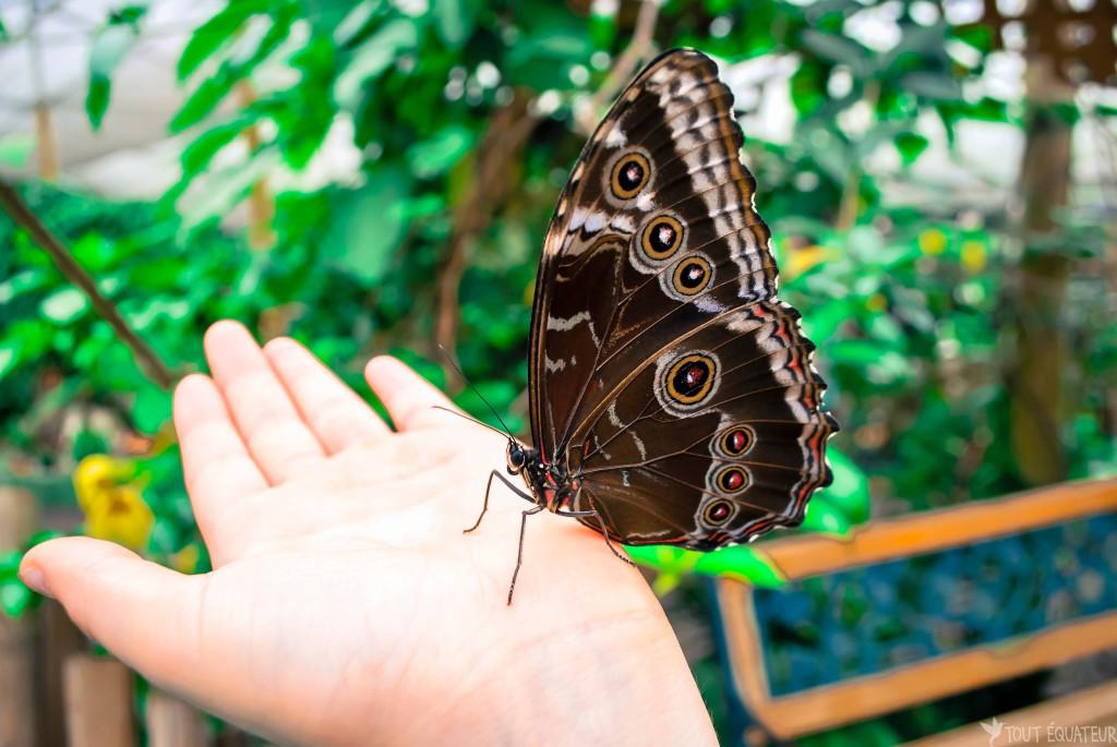 papillon-mindo-tout-equateur