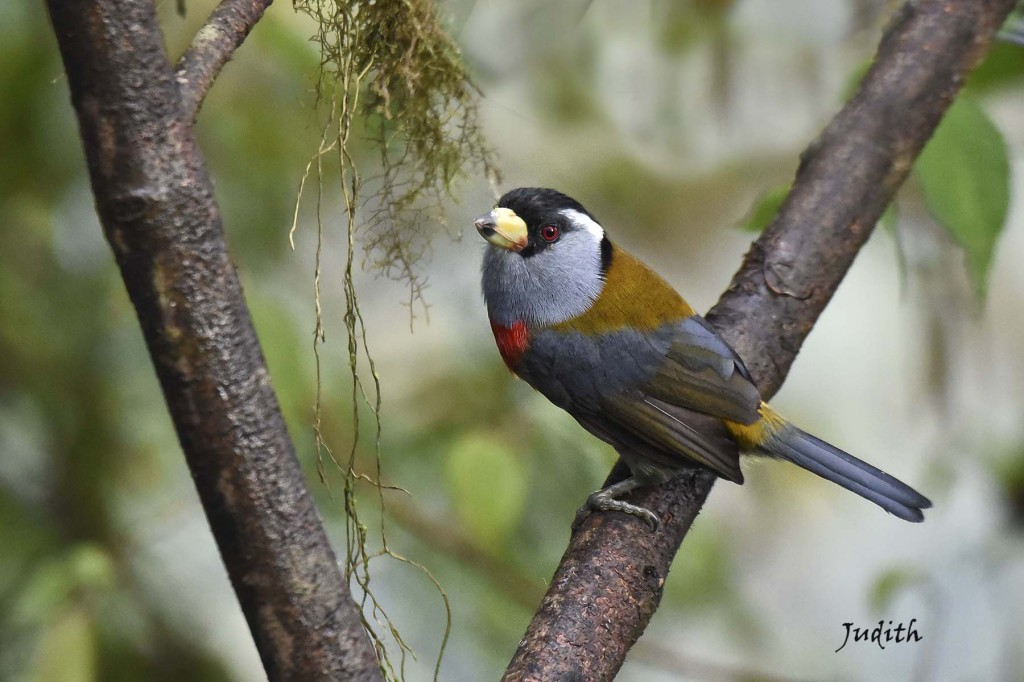 Cabézon toucan - Toucan Barbet_0729