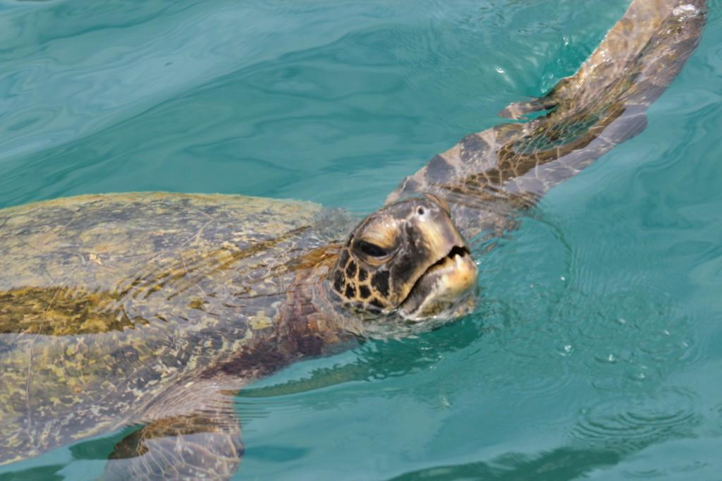 Les tortues de mer semblent attendre l'arrivée des bateaux