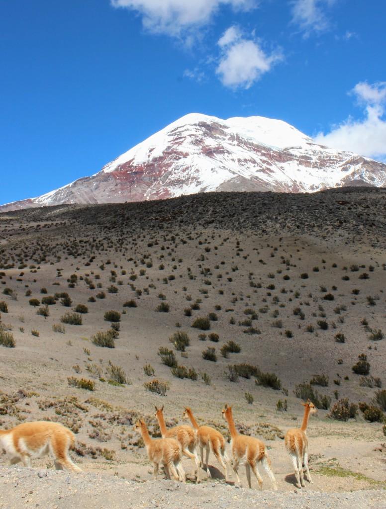 Une population de vigognes réintroduite dans le Parc Naturel du Chimborazo