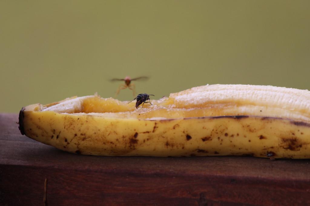 banana-insects_41742478722_o
