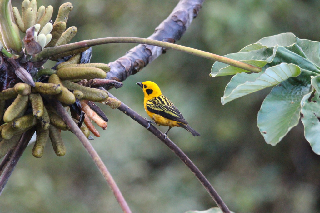 bird-in-mindo-ecuador_26915754007_o