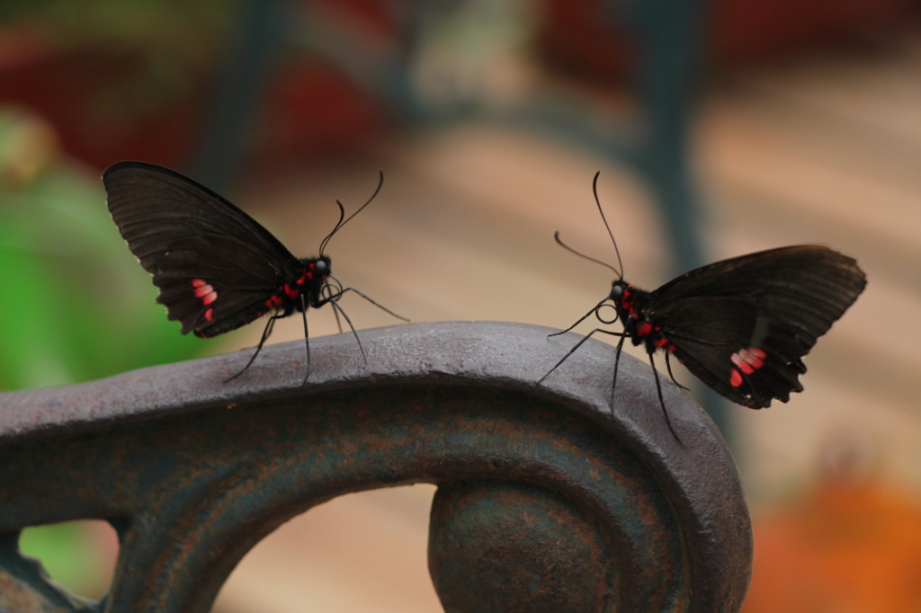 butterflies-in-love---mindo-ecuador_26915757907_o