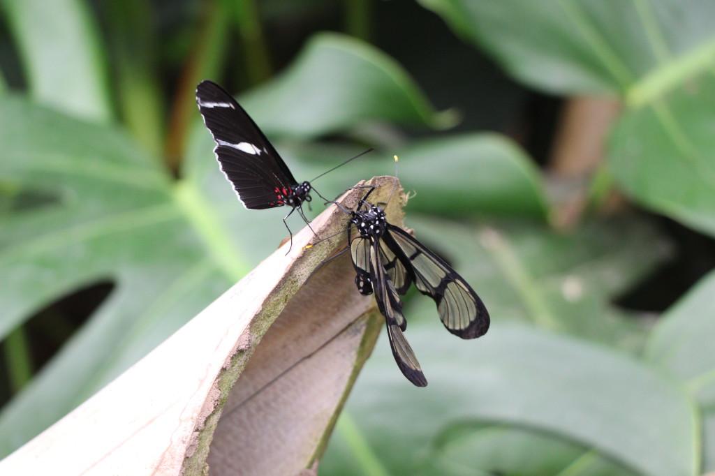 butterflies-mindo-ecuador_41742435112_o