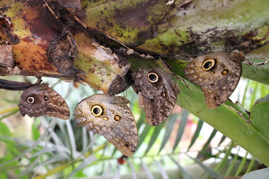 butterflies-mindo-ecuador_41783732171_o