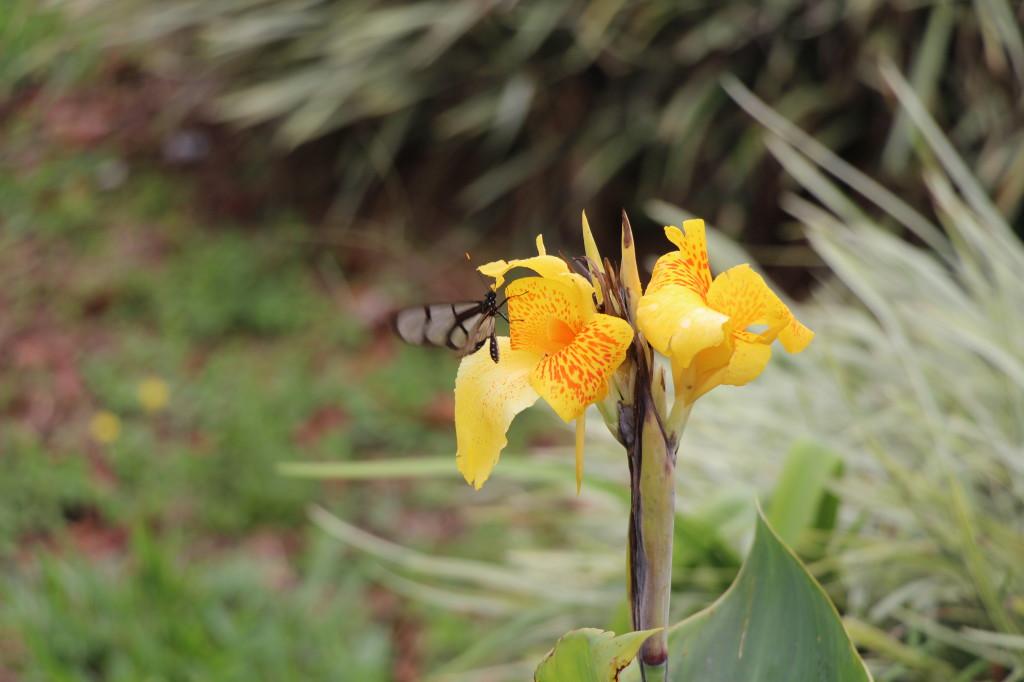 butterfly-in-mindo-ecuador_41742462672_o