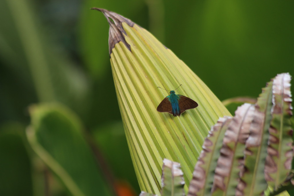 butterfly-in-mindo-ecuador_41742466932_o