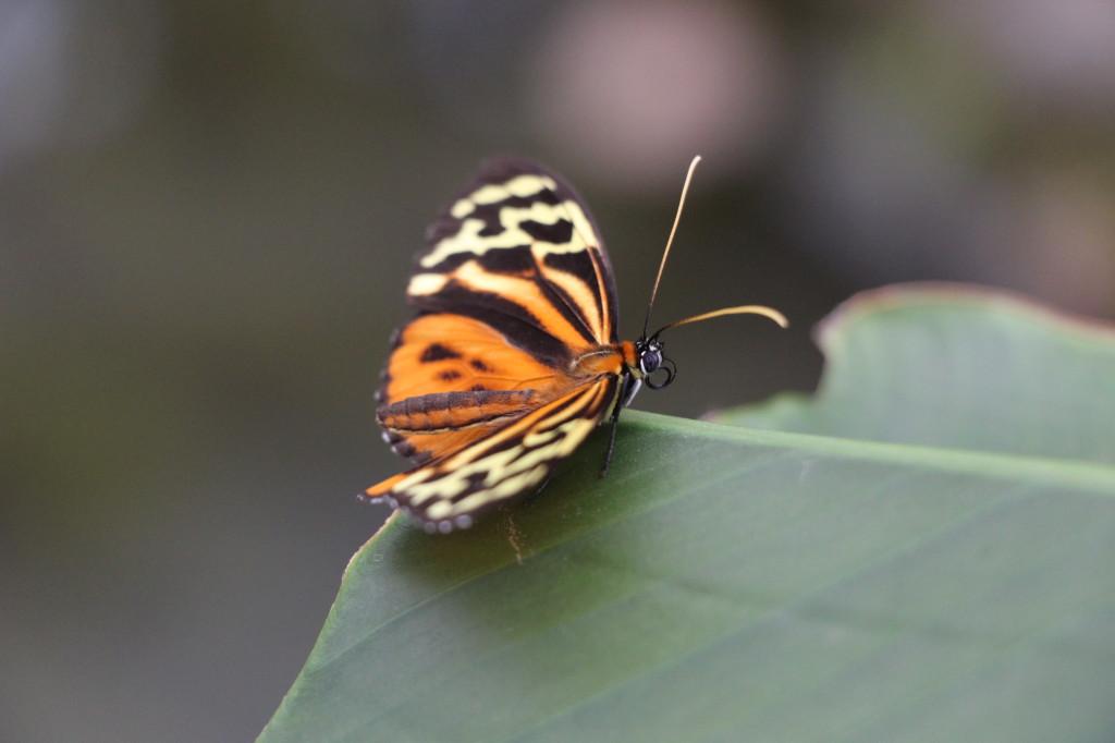 butterfly-mindo-ecuador_26915759097_o