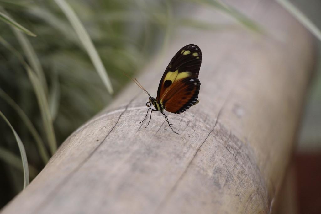 butterfly-mindo-ecuador_26915760457_o