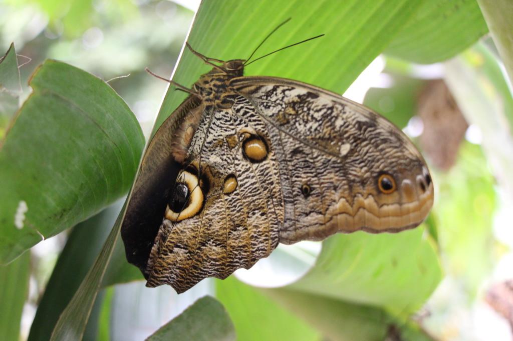 butterfly-mindo-ecuador_26915762187_o