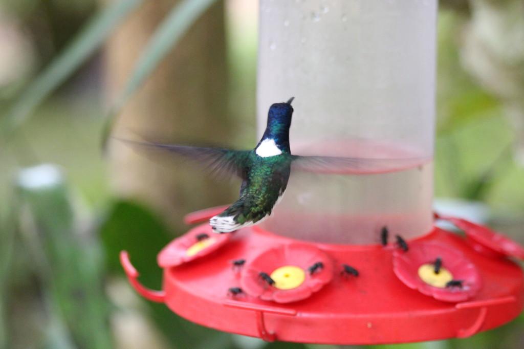 colibri-hummingbird-in-mindo-ecuador_41783736801_o