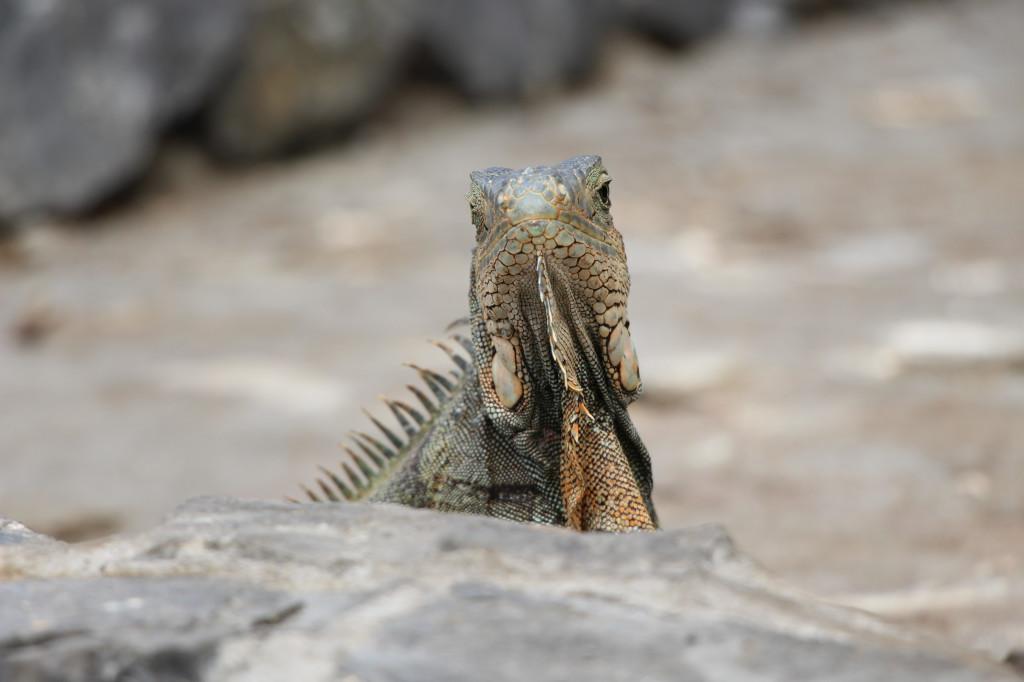 iguana-guayaquil-ecuador_27915523898_o