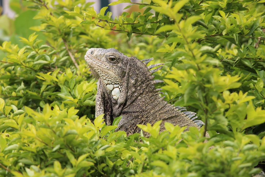 iguana-guayaquil-ecuador_27915525358_o