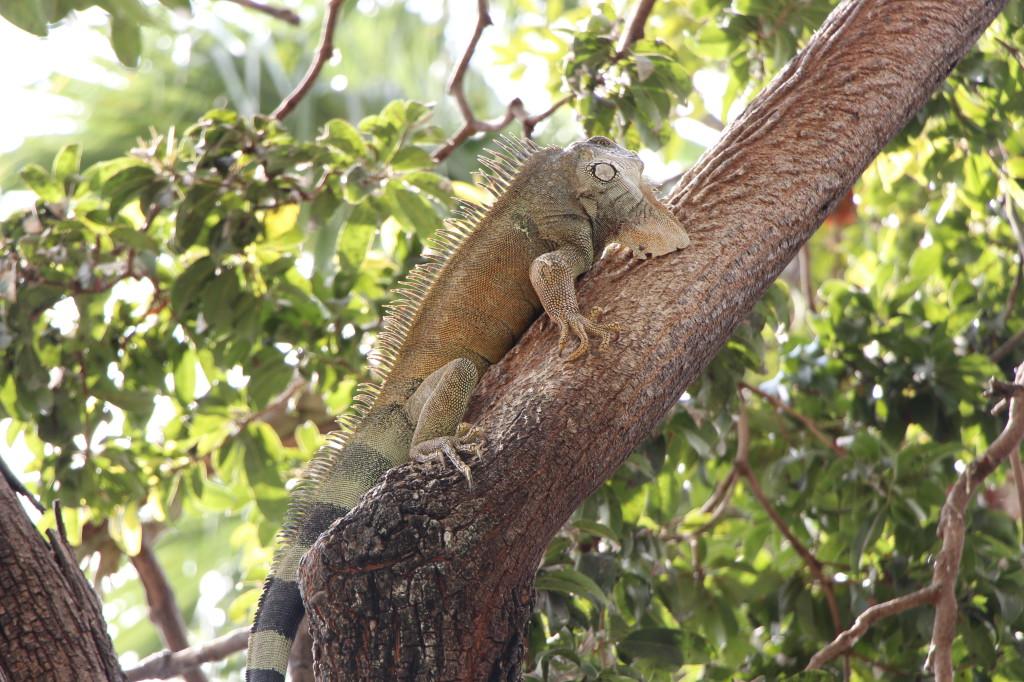 iguana-guayaquil-ecuador_27915527078_o
