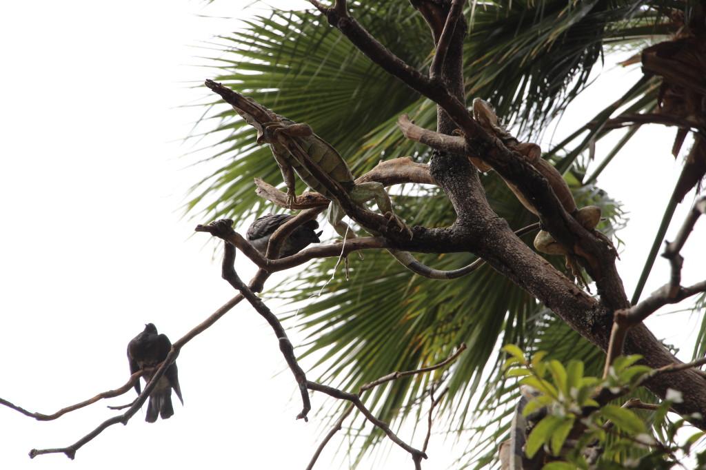 iguana-guayaquil-ecuador_27915528168_o
