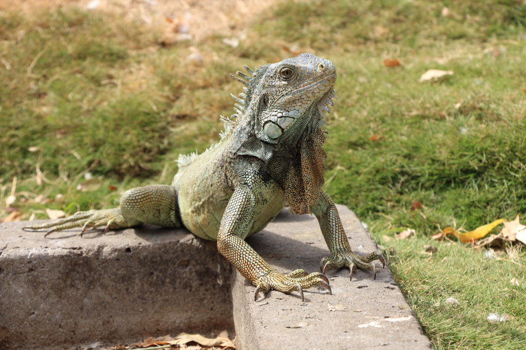 iguana-guayaquil-ecuador_27915530948_o