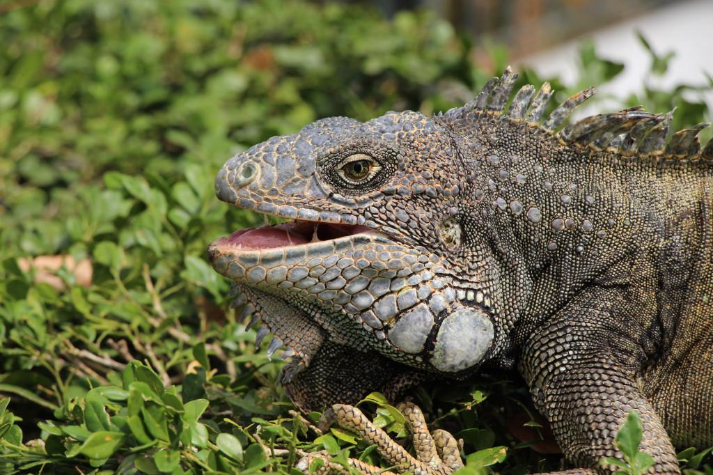 iguana-guayaquil-ecuador_27915532568_o