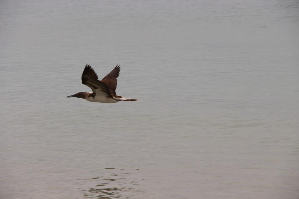 oiseau-fou-salinas-ecuador_27915512218_o