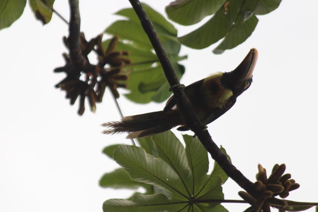 toucan--mindo-ecuador_40884577935_o